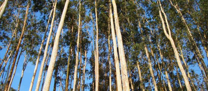 BNDES financia geração de energia a partir de eucalipto